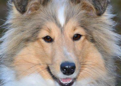 Del 1. Det sikre fundament – Den voksne hund